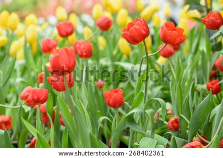 Tulip. Beautiful bouquet of tulips. colorful tulips. tulips in spring,colourful tulip - stock photo