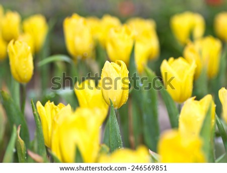 Tulip beautiful in nature close up. - stock photo