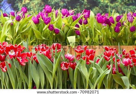 Tulip beautiful red color. - stock photo