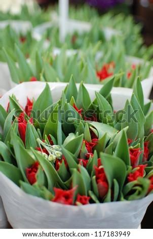 Tulip bud - stock photo
