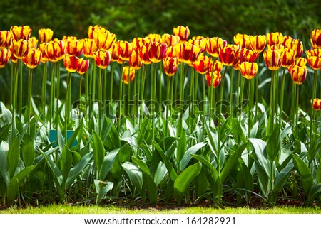 Tulip colorful flowers garden in spring  background, pattern or texture - stock photo