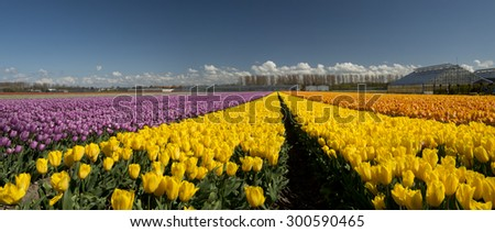 Tulip Culture,  North Holland