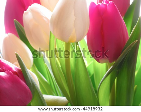 Tulip dreams - close up and light - stock photo