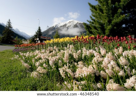 Tulip field and cityscape during spring in Davos, Switzerland - stock photo
