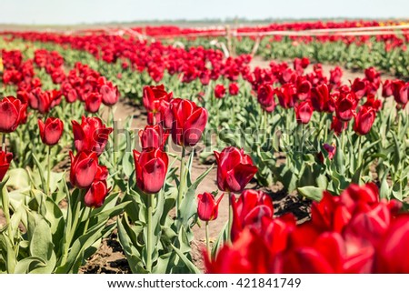 Tulip field. Field with red tulips. Group of red tulips in the park. Spring landscape. - stock photo