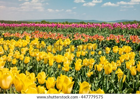 Tulip field. Field with yellow and pink tulips. Group of yellow and pink tulips in the park. Spring landscape. - stock photo