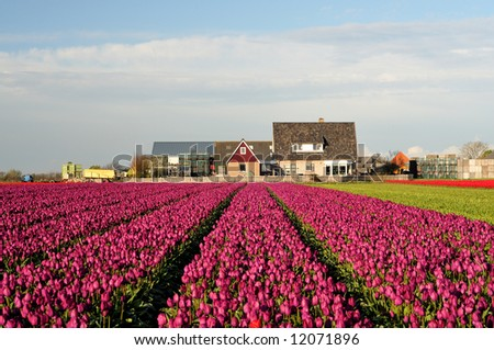 tulip field in evening light on Texel, Holland