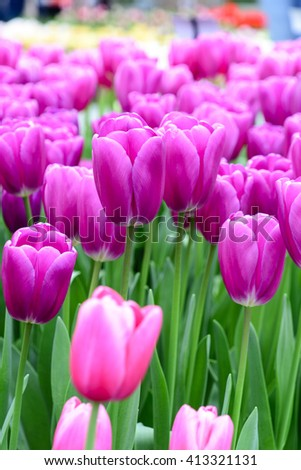 Tulip field in Keukenhof, The Netherlands - stock photo
