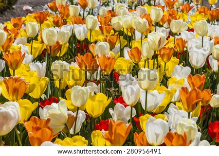 Tulip field in Lower Saxony, Germany, Europe  - stock photo
