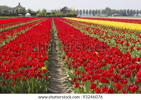 tulip field in the Netherlands - stock photo