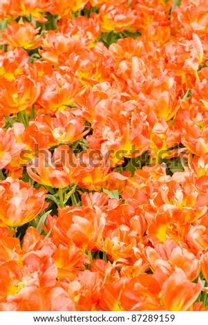 tulip field, Netherlands - stock photo