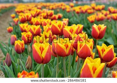 Tulip field , orange red fresh and beautiful / Flowers background / Macro flower - stock photo