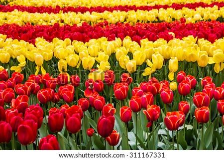 Tulip field, red and yellow, Keukenhof flower garden, Netherlands, Holland - stock photo