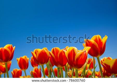 Tulip field under blue sky - stock photo