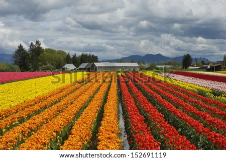 Tulip field under cloudy sky