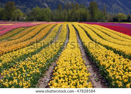Tulip field view near Vancouver, BC, Canada. - stock photo
