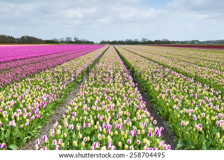 Tulip field with different colors and cloudy sky above, North Holland, the Netherlands.