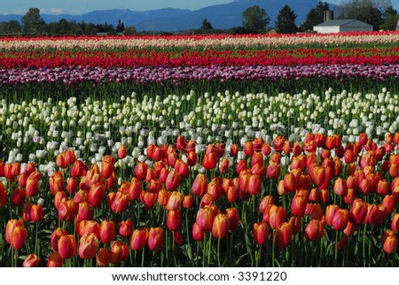 Tulip Fields 2 - stock photo