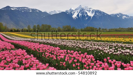 Tulip Fields in  front of Cheam Mountain - stock photo