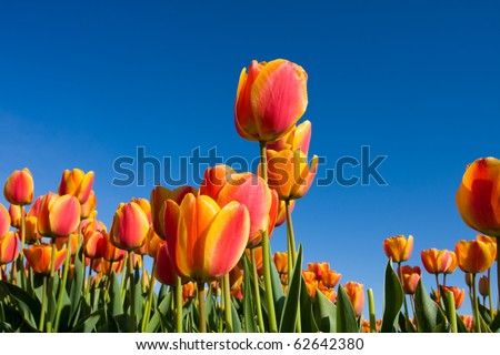 tulip fields in Holland in the spring - stock photo