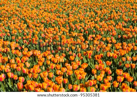 tulip fields in Holland in the spring