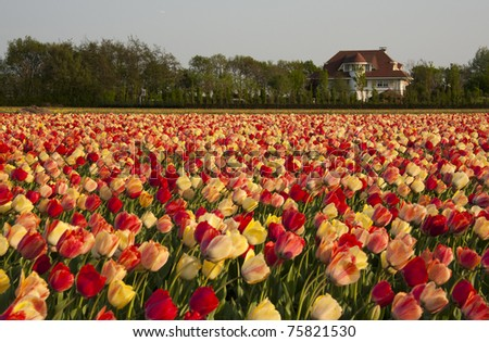 Tulip fields multicolored with a dutch house - stock photo