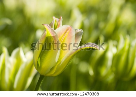 Tulip flower blooming beauty in the Spring