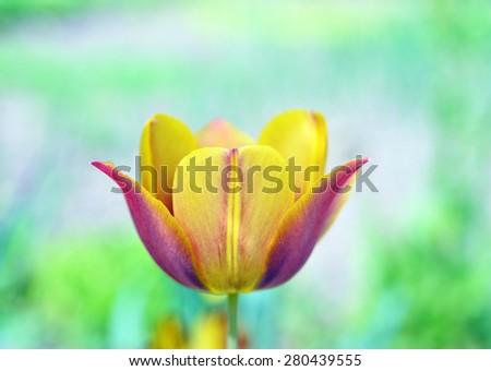 Tulip flower Defocused texture background - stock photo
