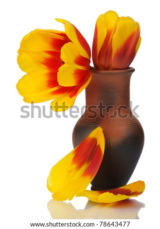 Tulip flower in a pot of red clay, isolated on a white background. - stock photo
