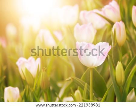 tulip flower in the garden with warm sunlight - stock photo