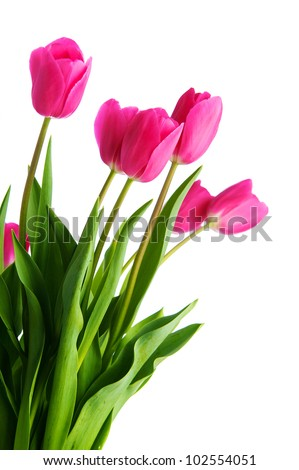 Tulip flower isolated on white