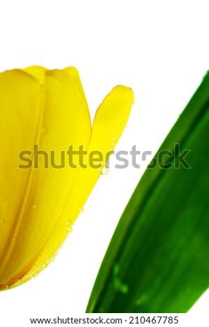 Tulip flower isolated on white - stock photo