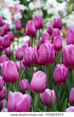 Tulip flower pink is blooming in the new season in Rayong, Thailand. - stock photo