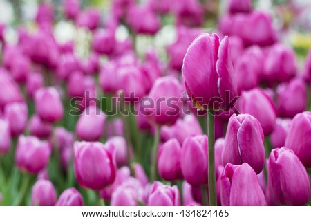 Tulip flower pink is blooming in the new season in Rayong, Thailand.