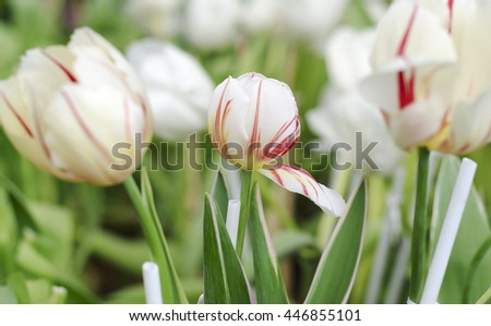 Tulip flower white and red colour is blooming in the n?ew season in Rayong, Thailand. - stock photo
