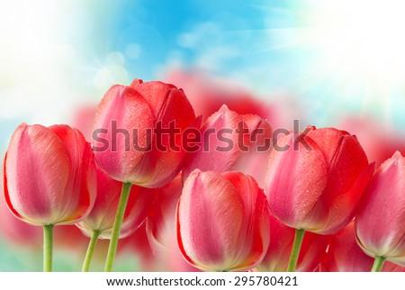 tulip flowers close up - stock photo