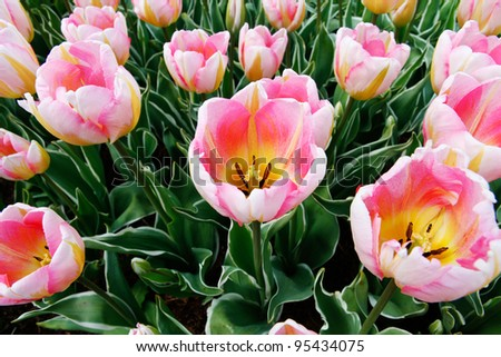 Tulip flowers  close up in pink white and yellow.