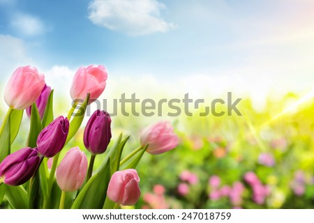 tulip flowers field in the morning - stock photo