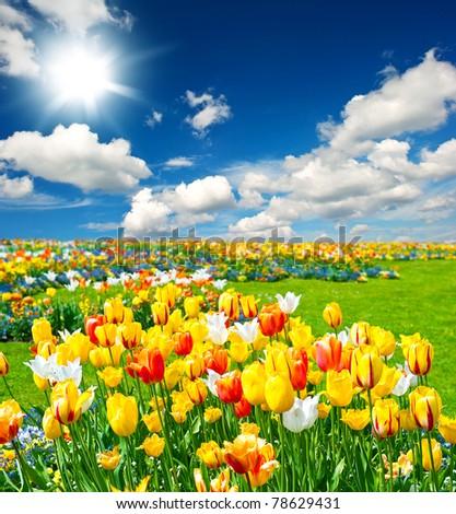 tulip flowers field on blue sky - stock photo