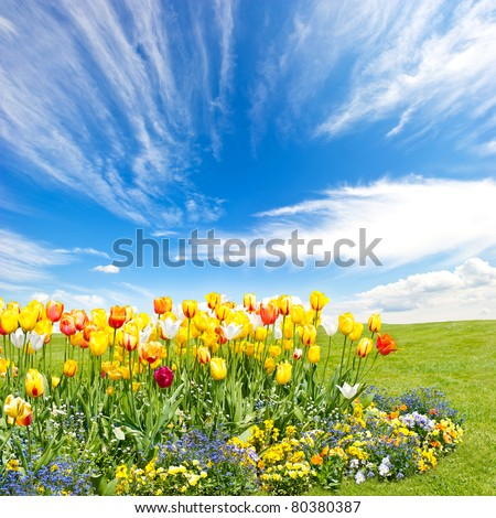 tulip flowers field on blue sky background