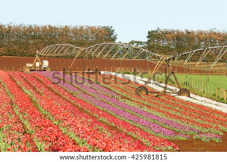 Tulip flowers in full bloom at Table Cape, north west agricultural region of Tasmania, Australia - stock photo