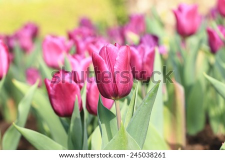 Tulip flowers,many beautiful purple tulip flowers blooming in the garden,Curcuma,Common Tulipa,Common Garden Tulipa  - stock photo