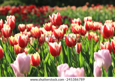 Tulip flowers,many beautiful red and purple tulip flowers blooming in the garden,Curcuma,Common Tulipa,Common Garden Tulipa  - stock photo