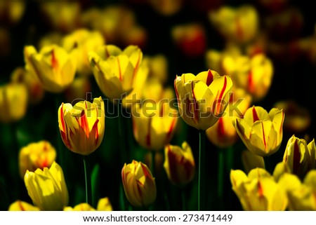 Tulip flowers of yellow and red color on a flowerbed. Play of sunlight and dark background. Tulips look like burning candles. Yellow tulip stands for hope, cheerfulness and bright and enigmatic smile. - stock photo