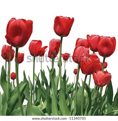 tulip flowers on white background closeup image - stock photo