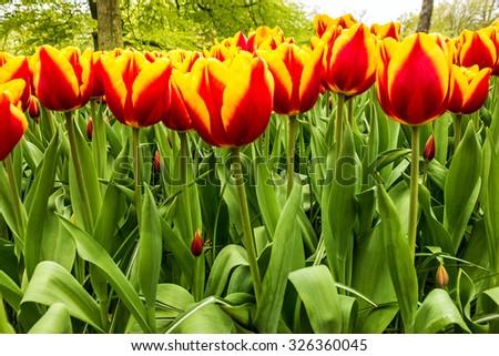 Tulip garden Keukenhof, Holland. Park of flowers - stock photo