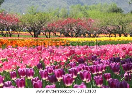 Tulip garden on a sunny day - stock photo