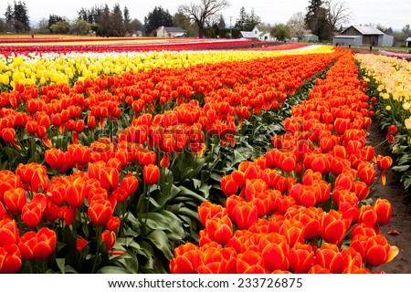 Tulip harvest in the Oregon Willamette valley , wooden shoe tulip farm