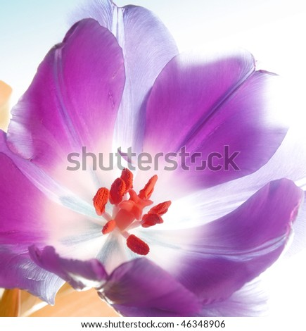 Tulip in beautiful colors - spring flowers - stock photo
