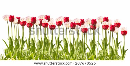 Tulip in front of white background - stock photo